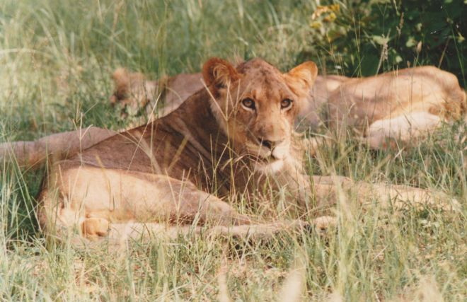 Sub-adult lion, Hwange National Park