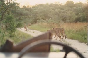 Following the pride in Hwange National Park (Photo: Alexander Fiske-Harrison)