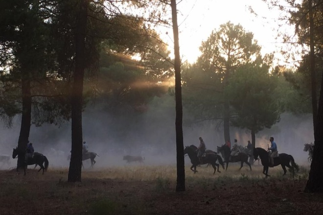 'Ghost Bull' by Chloe Drakari-Phillips. A herd of Spanish fighting bulls is herded through the dawn forests to Cuéllar by hundeds of horsemen at the beginning of the most ancient 'encierro' - bull-run - in Spain